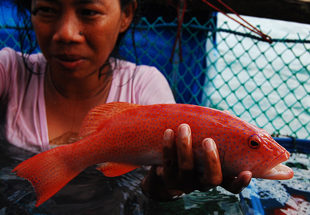 Cherished in China for their 'lucky' red color, leopard coral trout (Plectropomus leopardus) await their fate inside a floating cage in Palawan. Some die of stress and disease – but enough survive to make the trade lucrative. Gregg Yan/WWF)